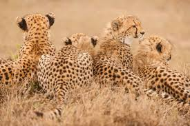 cheetahs are dangerously close to extinction