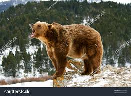 Stock Photo Grizzly Bear Growling On