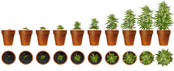Cannabis Plant Growth Chart Facts Faqs The Hempfiles