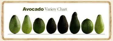 Learn About Florida Avocado My Organic Food Club 877 832 8289