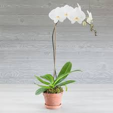 elegant orchids for home or gift same day delivery mcardle s greenwich