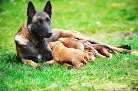5 diffe bloodlines mean diffe dogs shutterstock 194797724