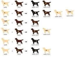 Labrador Color Chart 53 Precise Labrador Retriever Color Chart