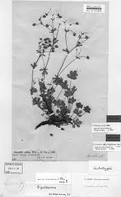"Potentilla sterneri (Rosaceae), a ""new"" species from Sweden"