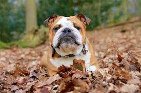 english bulldog full grown. Exellent Bulldog Bulldog On English Full Grown