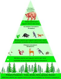 animal food pyramid. Modren Food Food Web Amazon Rainforest Animals  Pyramid In The Temperate Rain  Forest Biome Inside Animal