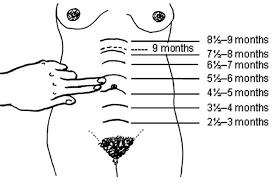Uterus Size In Cm During Pregnancy Chart Uterus During Pregnancy Its Size Changes And Role