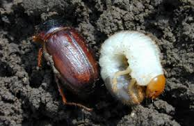 Scout For Early Soil Insect Problems In Corn Cropwatch