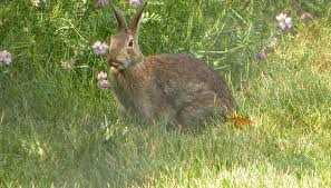 keep rabbits away from your blooms with items from home