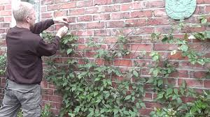 how to train clematis on wires on a wall