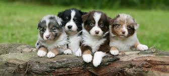 little country aussies exceptional mini and toy australian shepherds female puppy for