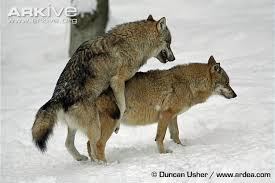 grey wolf size grey wolf photo canis lupus g57670 arkive