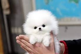 white teacup puppy. Modren Teacup TEACUP Puppy POMERANIAN White Color For Teacup H