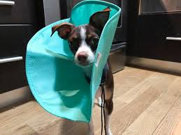 The Best Dog And Cat Cones Reviews By Wirecutter