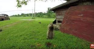 getting rid of groundhogs mothballs. Simple Groundhogs Inside Getting Rid Of Groundhogs Mothballs G