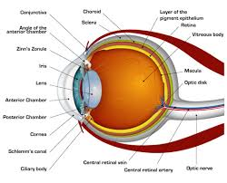 How The Human Eye Works Cornea Layers Role Light Rays