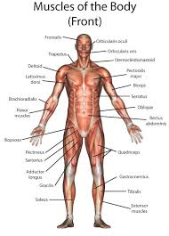 Muscles often contract to hold the body still or in a particular position rather than to cause. Body Muscle Diagram And Names Lower Back Muscle Anatomy And Low Back Pain Normally We Only Know The Name Of A Kumpulan Alamat Grapari Telkomsel Dan Alamat Bank