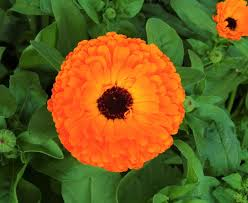 Calendula officinalis - Wikipedia