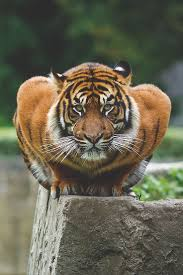 best ideas about tigers tiger cubs siberian tiger crouching position is not good could be position of curiosity about
