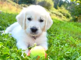 albino golden retriever. Exellent Retriever White Retriever Puppy Inside Albino Golden Retriever PetHelpful