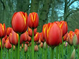 i like tulips a lot