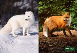 fox pictures to print. Plain Print RKF Print Ad  Arctic Fox Inside Fox Pictures To N
