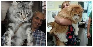 Cats Meet 15 Domestic The - info House 0 Biggest Earth Big On Alyssachia
