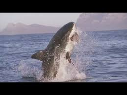 great white shark jumping. Contemporary Great Great White Shark Jumps Out Of The Ocean To Attack Its Meal Intended Jumping I