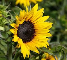 cool sunflower background screen hd wallpapers hd wallapers for free