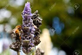 summer outdoors wallpaper. Bee On Lavender Outdoors Wallpaper Background Summer Spring Season Stock Photo - 7960998