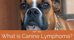What Is Dog Lymphoma