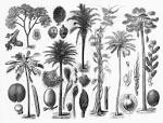 Images & Illustrations of family Palmaceae