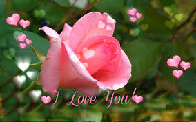 I Love You Pink Rose For Valentine S Day Wallpapers Rose L