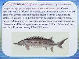 Презентация на тему Рыбы Сибири МАОУ гимназия имени А С  3 Сибирский