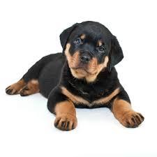 Rottweiler Puppy Diet Chart