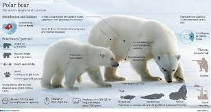 similiar polar bear life cycle keywords cycle life polar ice bear polar bears life cycle chart car pictures