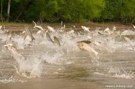 Flying asian carp video
