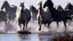 wild horses galloping. Wonderful Wild To Wild Horses Galloping