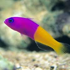 Dottyback Compatibility Chart Bicolor Dottyback Pictichromis Paccagnellae