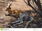 """Résultat de recherche d'images pour """"antelope kangaroo australia"""""""