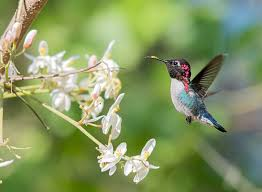Get To Know The Bee Hummingbird The Worlds Smallest Bird