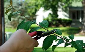 To Prune Or Not To PruneCan You Prune Fruit Trees In The Summer