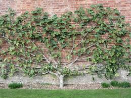 Duo CordonsGrowing Cordon Fruit Trees