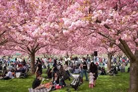 Bunga Sakura Hanami Tradisi Jepang Sambut Mekarnya Bunga Sakura Cheria