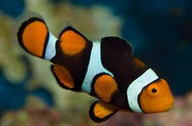 different colored clown fish. Perfect Clown Clownfish Inside Different Colored Clown Fish E