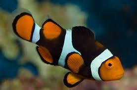 different colored clown fish. Plain Clown Clownfish To Different Colored Clown Fish