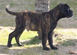 Bullmastiff Growth Chart Growth Of Bullmastiff Castro Castalia Bullmastiffs