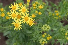 Image result for Ragwort