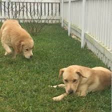 another foster that i know had just asked me to keep a look out for a young yellow lab female for her voila rita appeared the shelter thought that rita