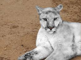 albino black panther. Unique Panther This Is A Photo Rendering Of White Cougar From Shot The Author Took  Regular Browncolored Specimen What Such Cat Might Appear Like On Albino Black Panther E